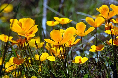 Foothill Poppy - Eschscholzia caespitosa - Bagby CA 4-1-11_234.jpg