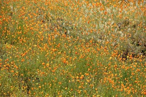 Foothill Poppy - Eschscholzia caespitosa - Hites Cove CA 3-21-10_069.jpg