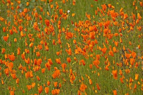 Foothill Poppy - Eschscholzia caespitosa - Hites Cove CA 3-21-10_075.jpg