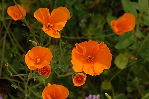 Foothill Poppy - Railroad Flat CA 3-21-10_137.jpg