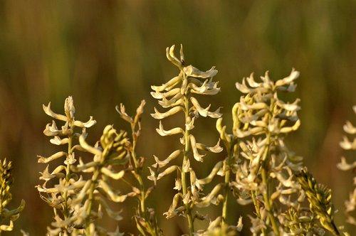 Freckled Milkvetch - Astragalus lentiginosus nigricalycis - Carrizo Plain CA 4-2-10_009.jpg