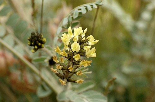 Freckled Milkvetch - Astragalus lentiginosus nigricalycis - Carrizo Plain CA 4-2-10_160.jpg