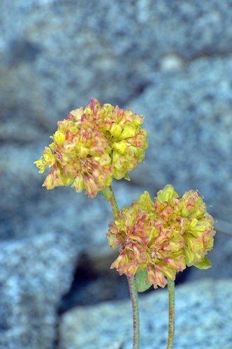 Frosted Buckwheat - Eriogonum incanum - Sonora Pass CA 8-8-09_050.jpg