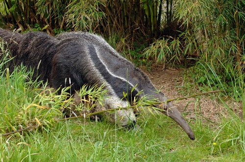 Giant Anteater - Myrmecophaga tridactyla - South America 5-15-10_274.jpg