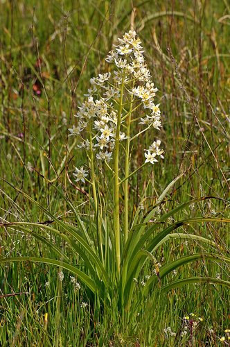 Giant Death Camas - Toxicoscordion exaltatum - Chinese Camp CA 1 4-16-11_215.jpg