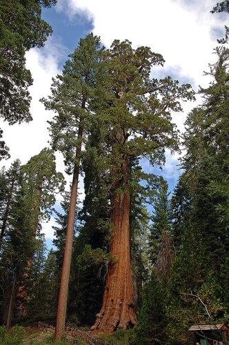 Giant Seqouia - Sequoiadendron giganteum - Sequoia NP CA 8-29 8-30 8-31-10_036.jpg