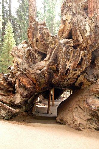 Giant Seqouia - Sequoiadendron giganteum - Sequoia NP CA 8-29 8-30 8-31-10_039.jpg