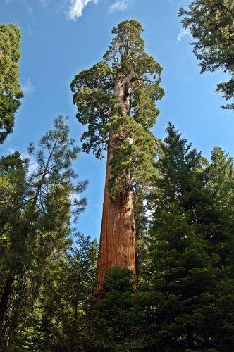 Giant Seqouia - Sequoiadendron giganteum - Sequoia NP CA 8-29 8-30 8-31-10_057.jpg