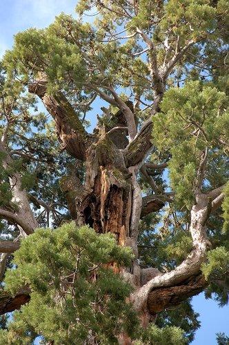 Giant Seqouia - Sequoiadendron giganteum - Sequoia NP CA 8-29 8-30 8-31-10_087.jpg