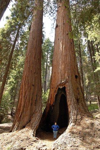 Giant Seqouia - Sequoiadendron giganteum - Sequoia NP CA 8-29 8-30 8-31-10_105.jpg