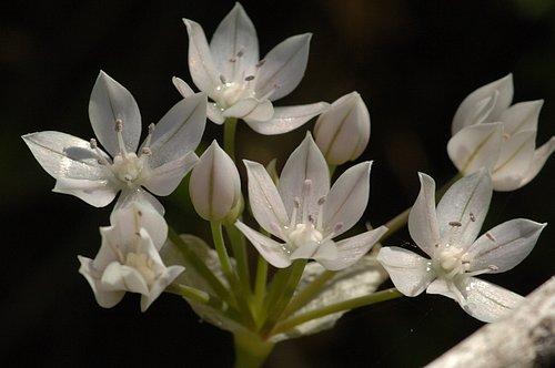 Glassy Onion (Allium hyalinum) Merced River Canyon California 4-12-08_429.jpg