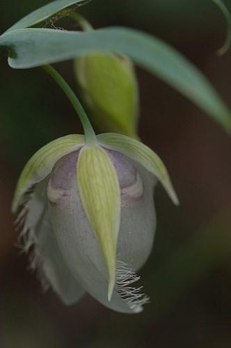 Globe Lily (Calochortus alba) Hites cove trail 4-12-08_108 (2).jpg