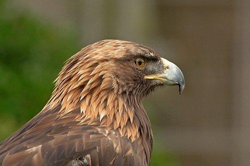 Golden Eagle - Aquila chrysaetos 5-15-10_201.jpg