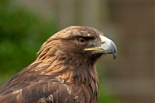 Golden Eagle - Aquila chrysaetos 5-15-10_206.jpg