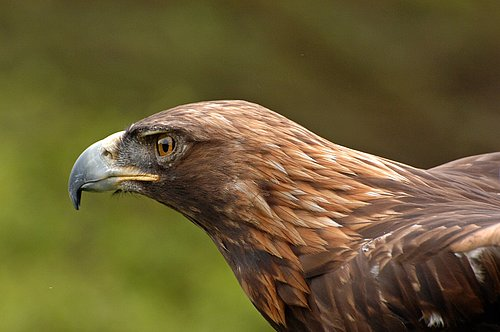 Golden Eagle - Aquila chrysaetos 5-15-10_230.jpg