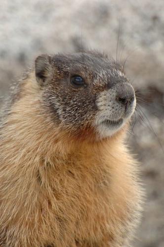 Golden Marmot - Marmota caudata - Yosemite NP 5-31-08 2_132 (2).jpg