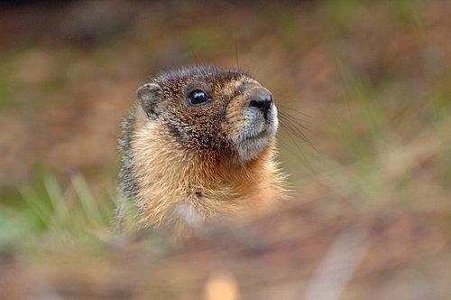 Golden Marmot - Marmota caudate - Yosemite CA 6-13-09_418.jpg