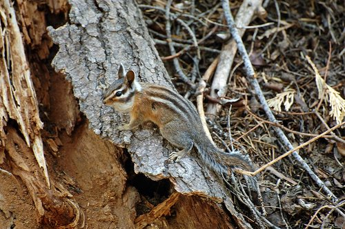 Golden-mantled Ground Squirrel - Callospermophilus lateralis - Tuolumne Meadows CA 9-26-09_065.jpg