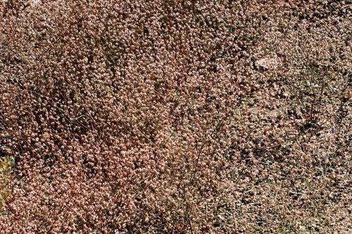 Goldencarpet Buckwheat - Eriogonum luteolum - Sonora Pass CA 8-8-09_349.jpg