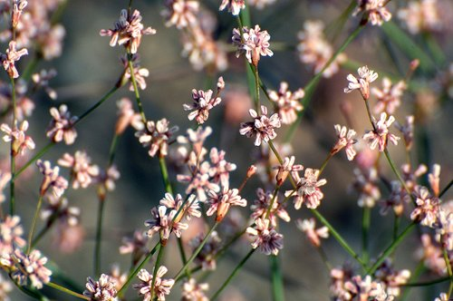 Goldencarpet Buckwheat - Eriogonum luteolum - Sonora Pass CA 8-8-09_350.jpg