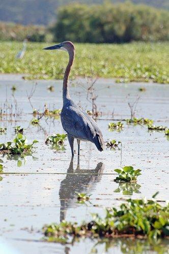 Goliath Heron - Ardea goliath - Lake Naivasha NP Kenya 10-9-07_002.jpg