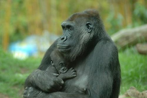 Gorilla with baby - Gorilla beringei beringei - 5-06_055.jpg