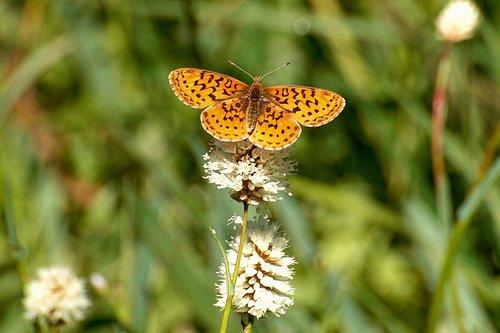 Great Basin Fritillary Butterfly - Speyeria egleis - Crane Flat Yosemite NP CA 6-27-09_186.jpg