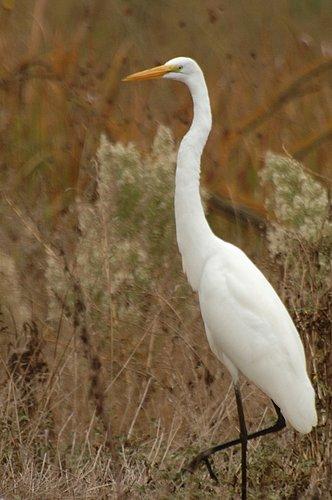 Great Egret - Ardea alba - Merced NWR CA 10-23 11-6 11-26 12-4-10_038.jpg