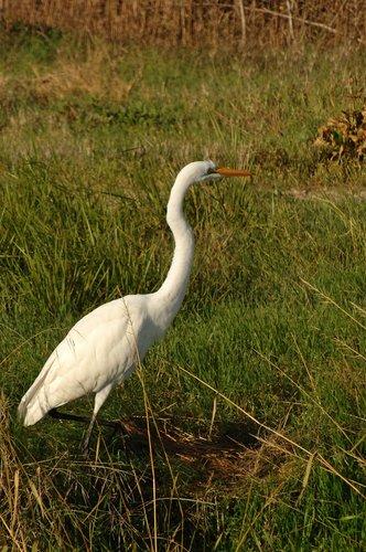 Great Egret - Ardea alba - San Luis NWR CA 11-8-09_037.jpg