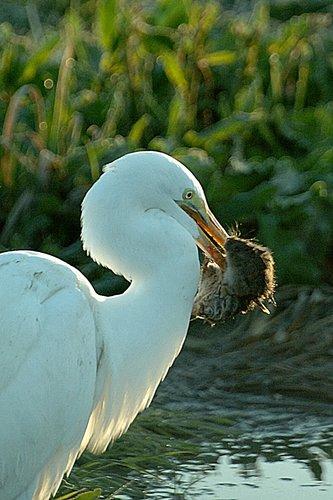 Great Egret - Ardea alba - San Luis NWR CA 2-12-11_164.jpg