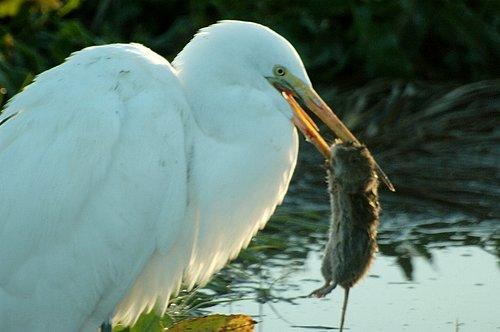 Great Egret - Ardea alba - San Luis NWR CA 2-12-11_172.jpg