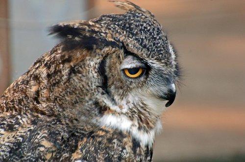 Great Horned Owl - Bubo virginianus - San Francisco CA 12-25-09 2_038.jpg