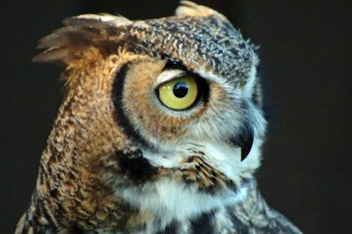 Great Horned Owl - Bubo virginianus - San Francisco CA 12-25-09 2_053.jpg