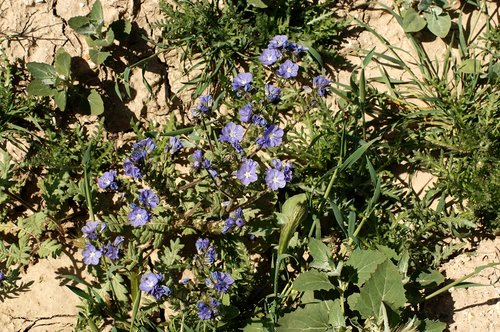 Great Valley Phacelia - Phacelia ciliate - Carrizo Plain CA 4-18-10_246.jpg