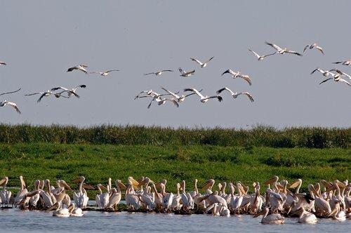 Great White Pelican - Pelecanus onocrotalus - Lake Manyara NP Tanzania 10-11-07_070.jpg