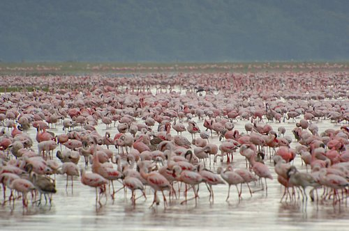 Greater Flamingos - Phoenicopterus roseus - Lake Nukuru Kenya 10-8-07_241E (2).jpg