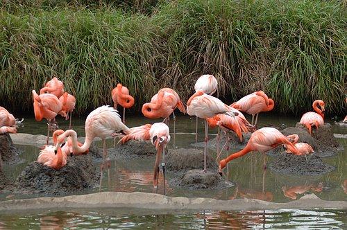Greater Flamingos - Phoenicopterus roseus - San Diego CA 5-06_018.jpg
