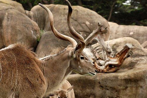 Greater Kudu - Tragelaphus strepsiceros - East Africa 5-15-10_003.jpg