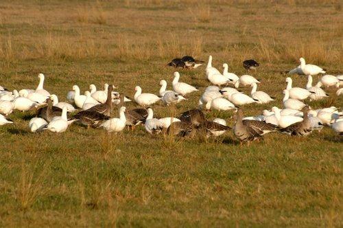 Greater White Fronted Goose - Anser albifrons -Merced NWR CA 11-26-09_093.jpg