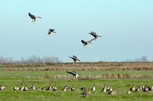 Greater White Fronted Goose - Anser albifrons -Merced NWR CA 12-31-10_235.jpg