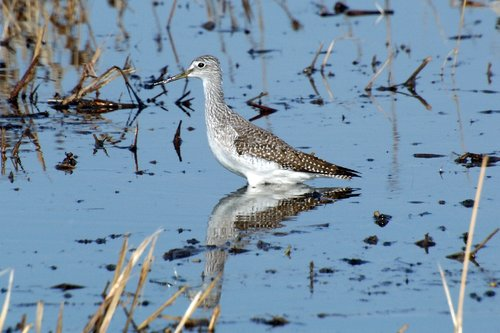 Greater Yellowlegs - Tringa melanoleuca - Merced NWR CA 11-13-11 11-25-11_014.jpg