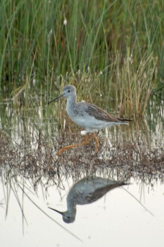 Greater Yellowlegs - Tringa melanoleuca - San Luis NWR CA 11-8-09_022.jpg