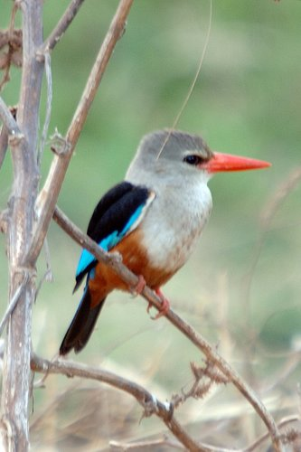 Grey-headed Kingfisher - Halcyon leucocephala - Lake Manyara NP Tanzania 10-11-07_166.jpg