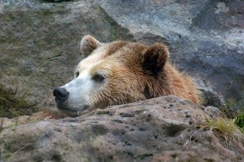 Grizzly Bear - Ursus arctos - North America 5-15-10_256.jpg
