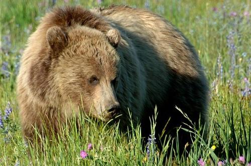 Grizzly Bear - Ursus arctos horribilis - Yellowstone NP 7-12-08 1_043 (2).jpg
