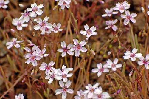Gypsum Spring Beauty - Claytonia gypsophilioides - Del Puerto Canyon CA 4-2-10_148.jpg