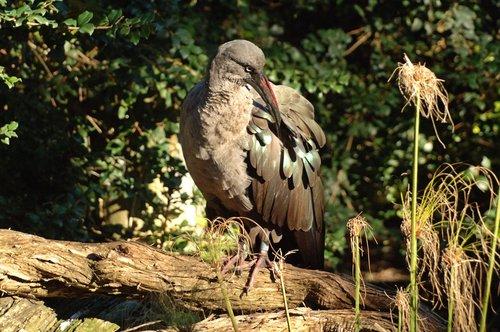Hadada Ibis - Bostrychia hagedash - Eastern Africa 12-25-09 1_096.jpg