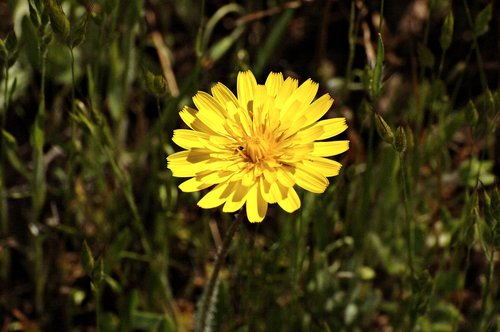Hairy Cats Ear - Hypochaetis radicata - Avanela Wildflower Area CA 4-8-11 4-10-11.jpg
