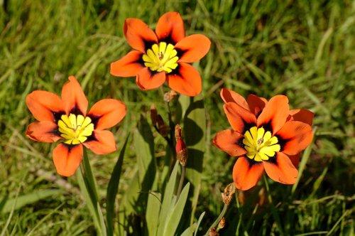 Harlequin Flower -Sparaxis tricolor - San Francisco CA 3-27-10_308.jpg
