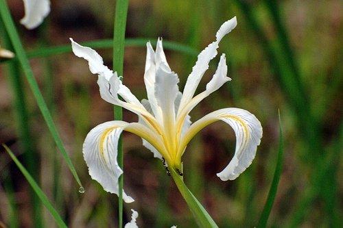 Hartwegs Iris - Iris hartwegii hartwegii - Table Mountain CA 3-28-10_026.jpg
